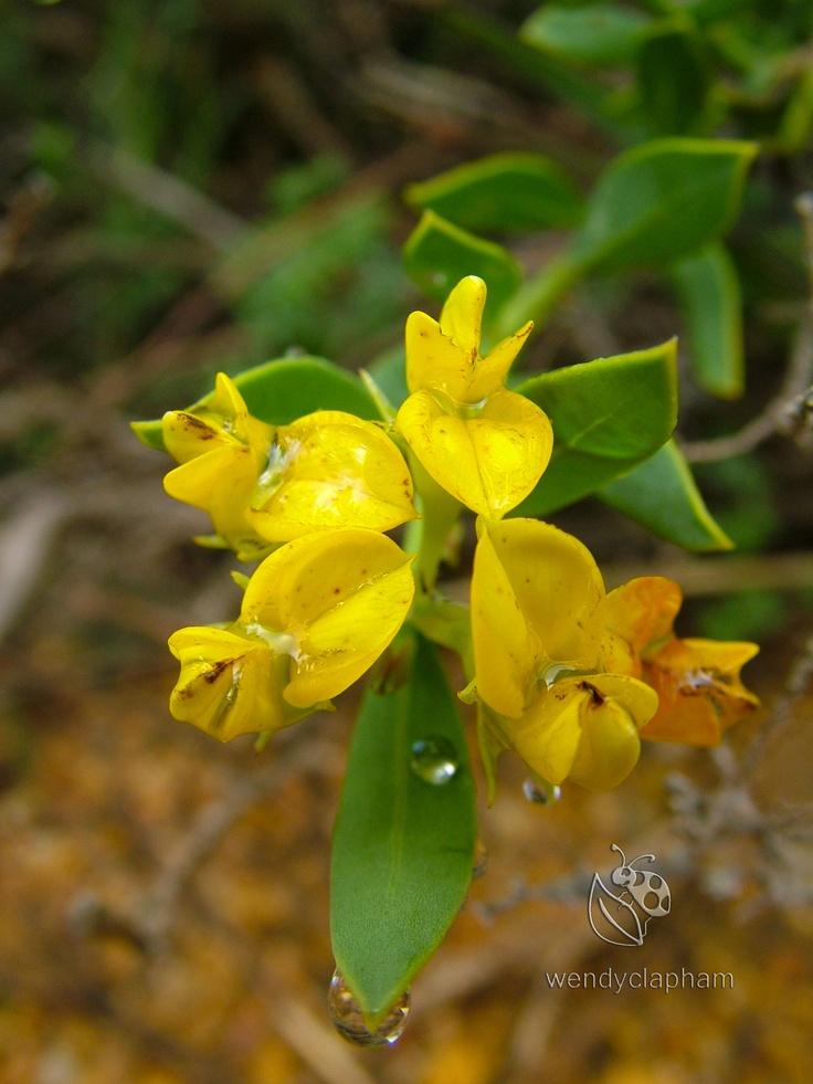 Aspalathus spp