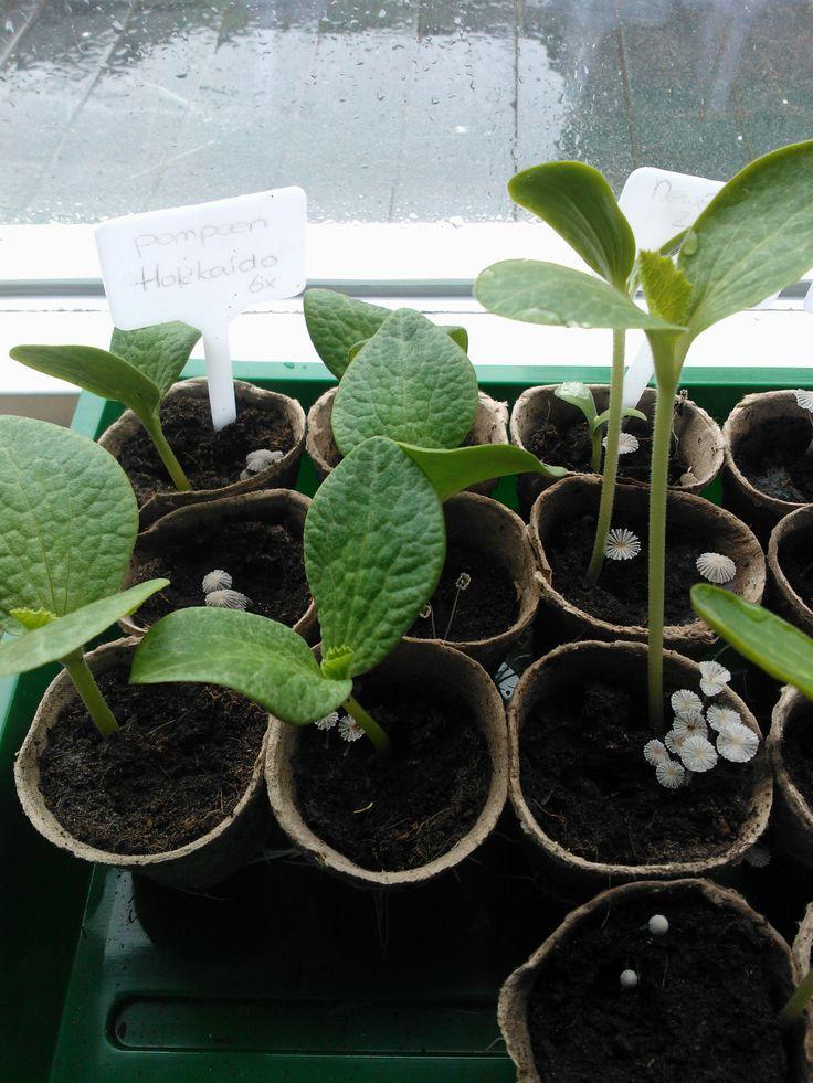 Onze pompoenplantjes groeien als kool. Maar de tuin is er nog niet klaar voor! Oh jee....als dat maar goed gaat! (zó veel te doen, ik heb nog zo veel te doen...lalalala -Klein Orkest-)