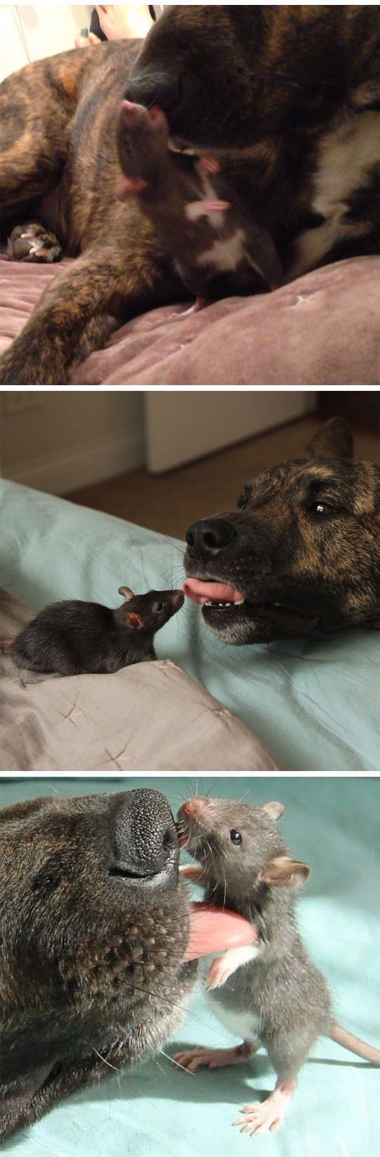 (3) Dog and rat are best friends