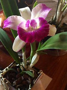 Blc.Mari's Glory Orchid FS