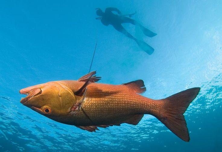 363 Best Images About Spearfishing Freediving On