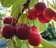 .Healthiest Food, Jam Recipe, Nature Food, Healthy Toddlers Food, Health Benefits, Sleep Aid, Cherries, Healthy Food, Freezers Jam