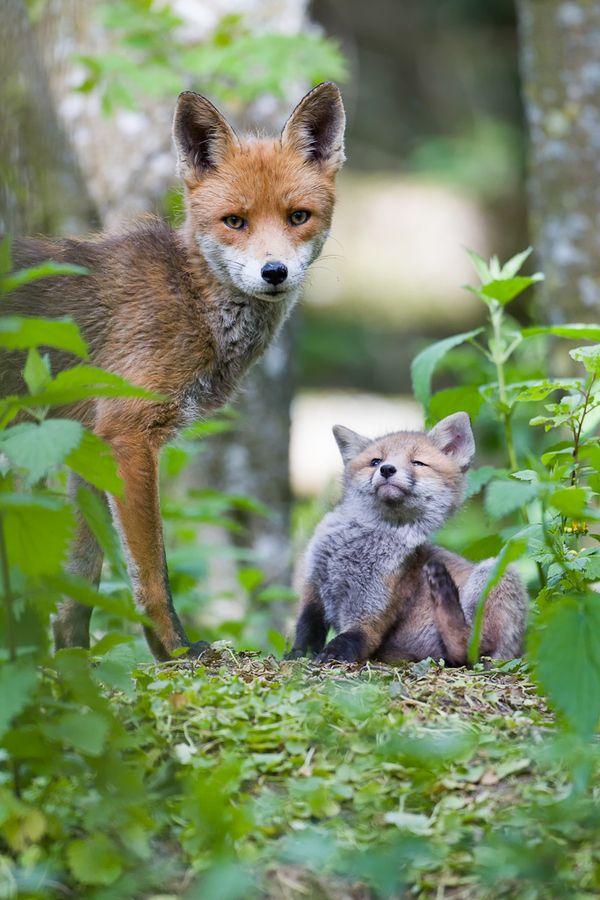 Fox by Brice Petit on 500px