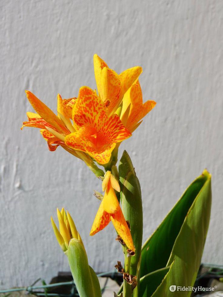 Piuttosto significativa la dimensione di questa pianta perenne d'appartamento…