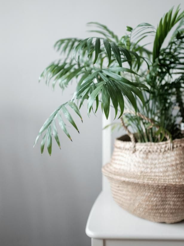 Bamboo Palm  Chamaedorea Seifrizii  Since the bamboo palm, or reed palm, prefers part sun or shade, it makes a great houseplant with the added benefit of aiding in the removal of harmful elements such as benzene and formaldehyde.
