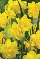 Narcissus Pencrebar - Daffodil Bulbs