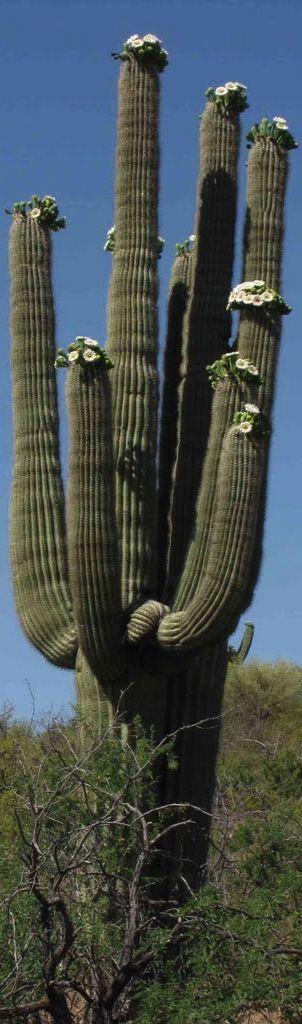 Saguaro.Este cactus crece entre México y Estados Unidos.Sus hermosas flores abren de noche y los murciélagos se alimentan de ellas. Es el ejemplar mas grande de la familia de las cactáceas.