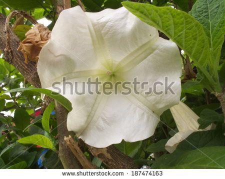 White trumpet flower.