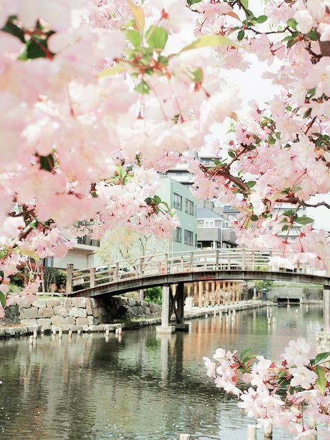 Bridge, Sakuras in bloom, Japan