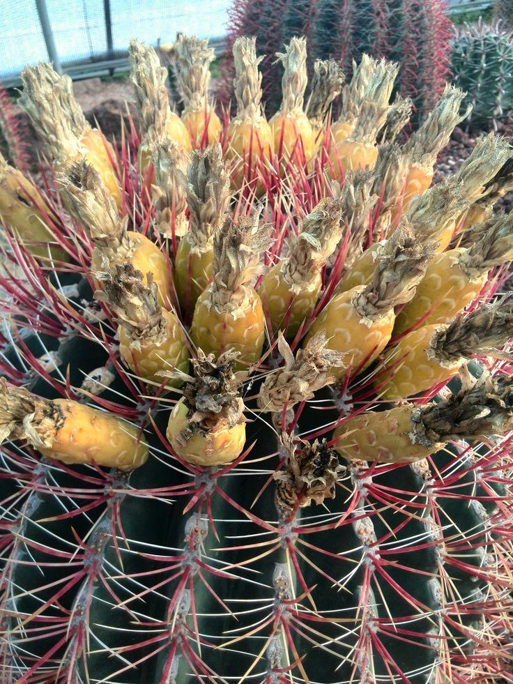 Ferocactus pringlei Jardín Botánico Juan Carlos I  Universidad Alcalá de Henares  (c) Félix Loarte 2014