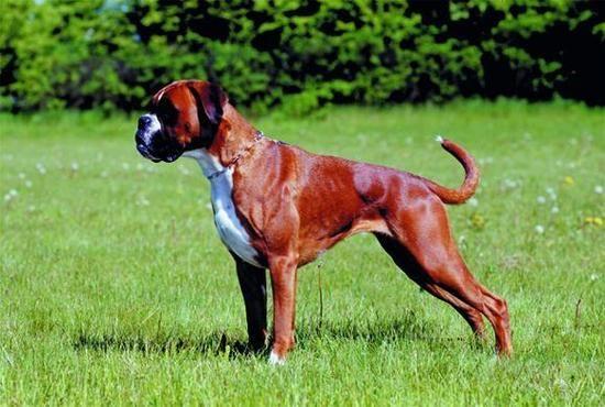 Boxer (Deutscher Boxer)   Origin: Germany