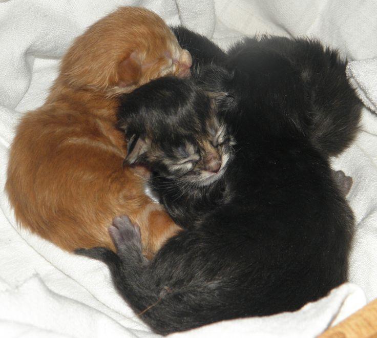 Naše koťátka narozená 2.3.2016 - ještě před chviličkou jsme byli u maminky v bříšku