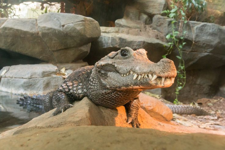 Animal Fact: Dwarf crocodiles are the most terrestrial crocodile species, avoiding deep water and sometimes wandering far inland in search of food or mates.