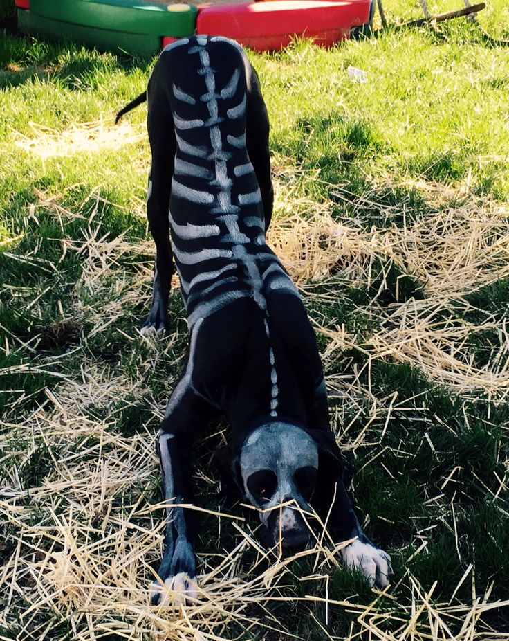 Great Dane painted as a Skeleton for Halloween
