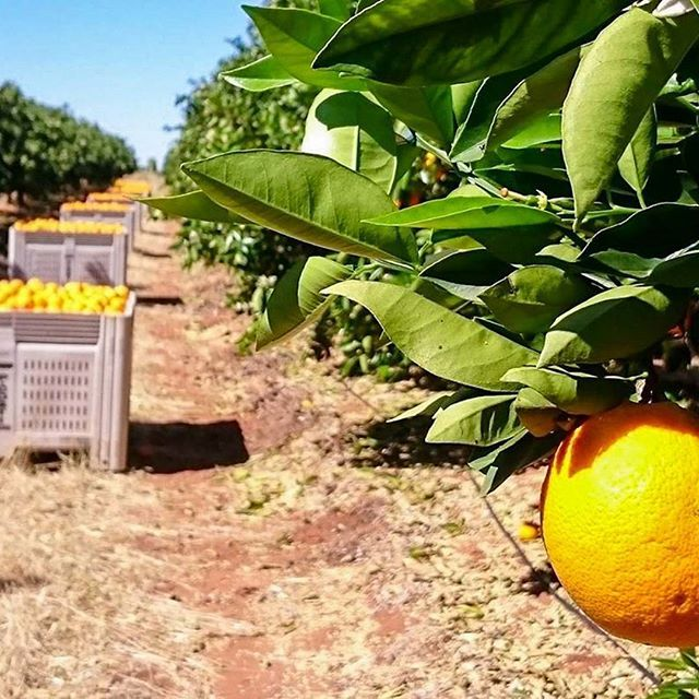 The orange orchard at Fresh Citrus Direct (@Citrus_Direct) in the Riverland region of South Australia. See their stall in the link in our bio.  #FreshCitrusDirect, #FarmersMarket, #FarmhouseAU, #Foodie, #Orchard, #Australia, #Riverland, #SouthAustralia, #Oranges, #NavelOranges.