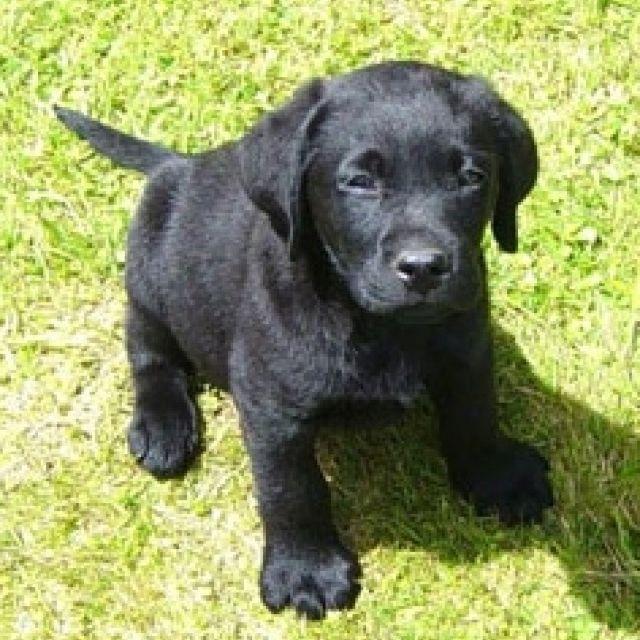 Soldiers Raising Money To Bring Home Stray Dog From Afghanistan Labrador Retriever Black Labrador Retriever
