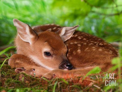 White-tailed Deer Baby, KentuckyBy Adam Jones