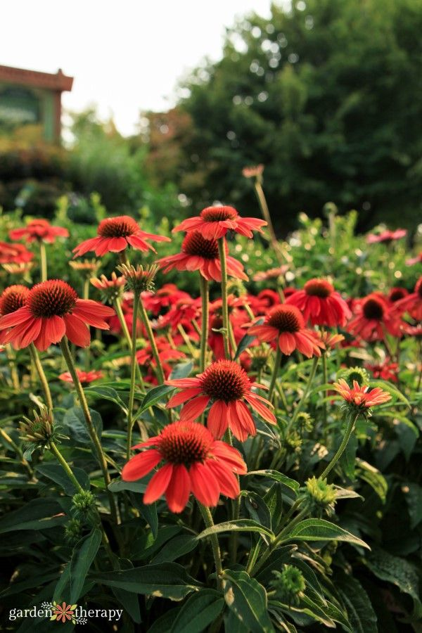 Echinacea Guide Planting Pruning And Caring For Coneflowers Garden Therapy Pollinator Plants Plants Echinacea