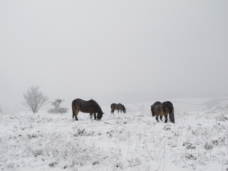 Exmoor ponies on Cothelstone Hill - usually an amazing view over The Quantocks... but still stunning.