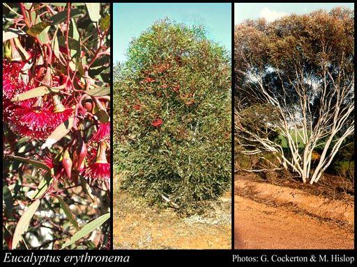 Eucalyptus erythronema 2-6m