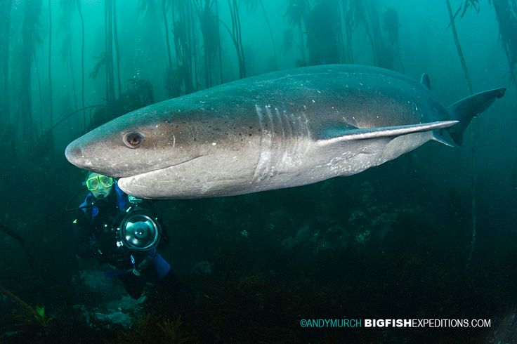 Broadnose Sevengill Shark with Diver. Simon's Town, South Africa with BigFishExpeditions.com