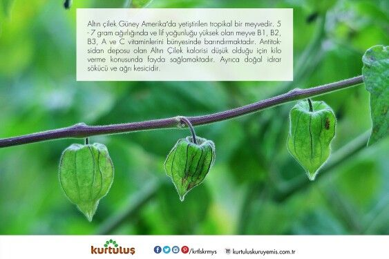 Bir zamanların medyatik meyvesi Altın Çilek hakkında kısa bilgiler :)  #altınçilek #kuruyemiş #tropikalmeyveler #meyvekuruları #onlinekuruyemiş