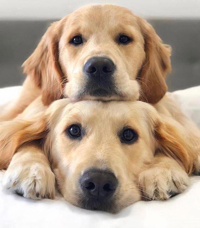 Golden Retriever Noble Loyal Companions Dogs Golden Retriever