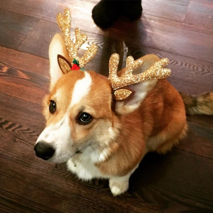 Getting into the Christmas spirit. I think these dogs are sooo cute!