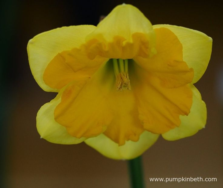 Robin Couchman presented this example of Narcissus 'Gold Lake', a Narcissus from Division 11a, which won Robin first prize in its class at The Daffodil Society Mid Southern Group Spring Show.
