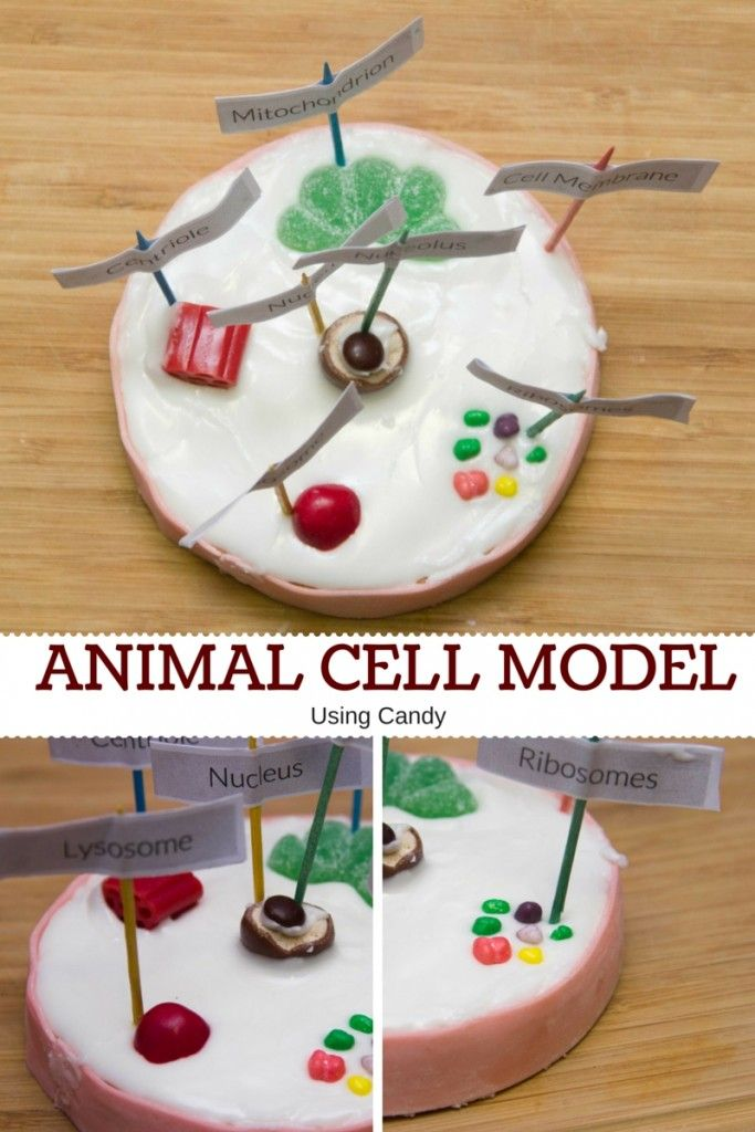 How To Make An Animal Cell Model Using Candy Cell Model