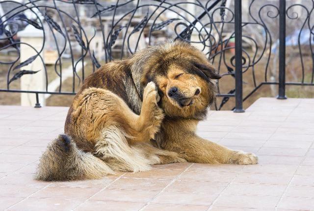 Escabiose canina