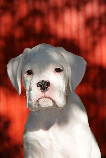 White Boxer - So precious! ---- Love Your Boxer?? Visit our website now!