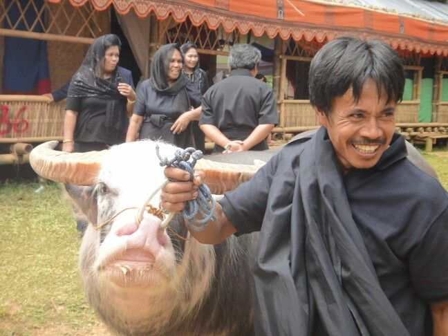 kerbau belang (tedong bonga) sebutan dalam bahasa toraja