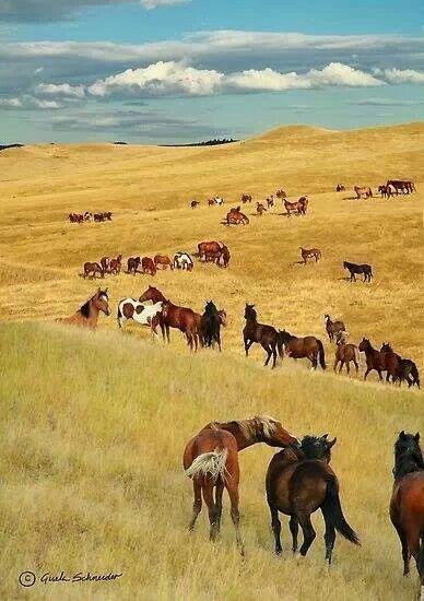 Field of horses in wide open plains. Cheveaux