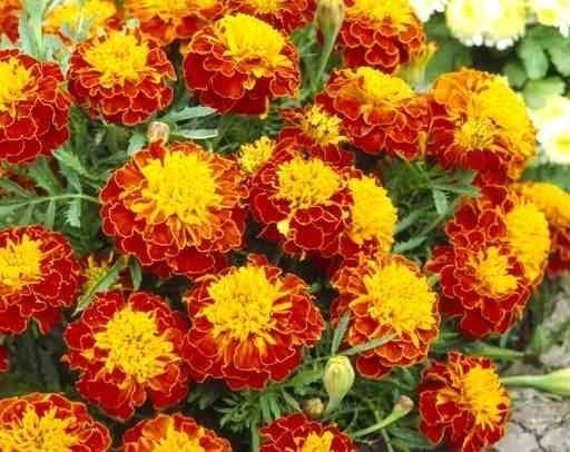Tagete - Tagetes - Piante Annuali - Garofano indiano, Tagete - Tagetes - Annuali