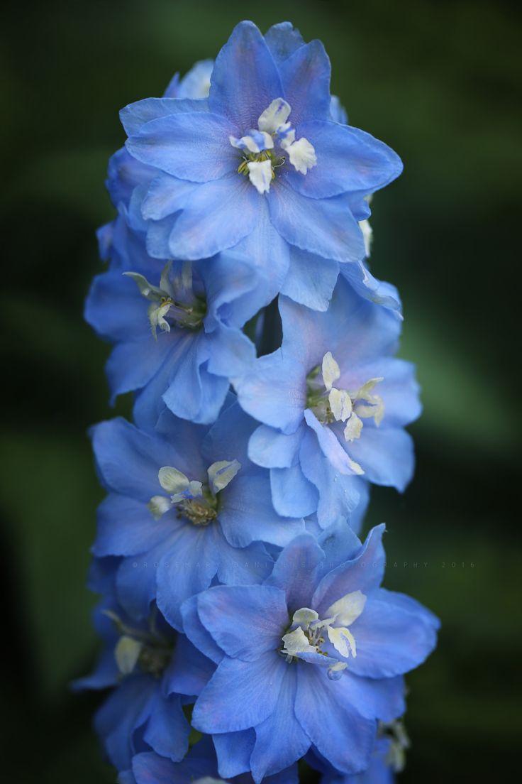 Rosemarydanielis Wonderful Flowers Delphinium Flowers