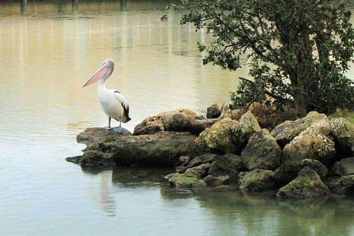 Pelican. Courtesy Karyn Ellis.