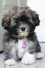 Bichon Havanese LOVE it!! My sweet Zoe is a Bichon Havanese mix, black and white like this cutie,except she has beautiful white eyebrows!