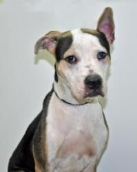 Bandit is an adoptable Pit Bull Terrier Dog in Port Washington, NY. A straight-A student who keeps getting sent to the Principal for distracting the class with his clowning-antics Yes, thats our lovea...