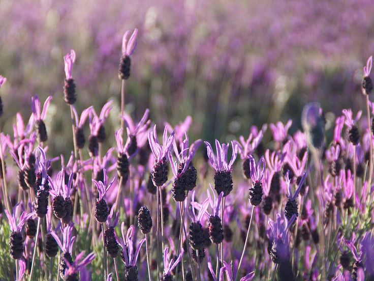 Pruning - Lavandula stoechas known as French or Spanish lavender
