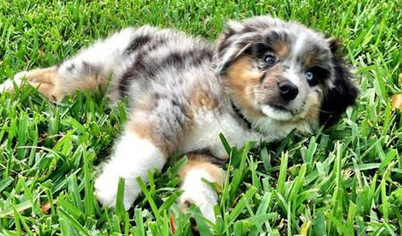 australian shepherd puppy. beautiful colors!! and has different colored eyes!     i used to have an australian shepherd with different colored eyes, gorgeous dog!!! different body color though