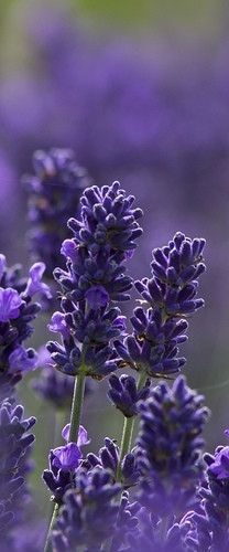 Pretty Purple Lavender Flowers and then dry it and make scented sashes for your drawers..