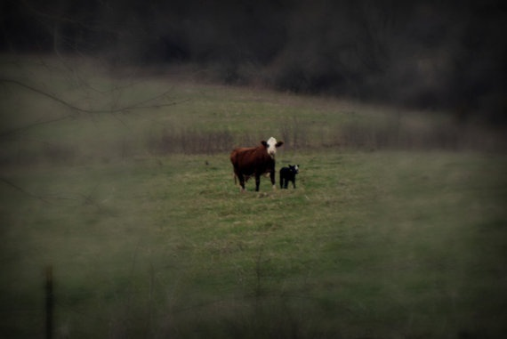 Fine Art Photography Print COUNTRY COWS by ZweibohmerPhotos, $15.99