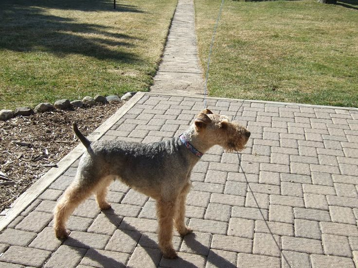 WTCares - Welsh Terrier Rescue Service