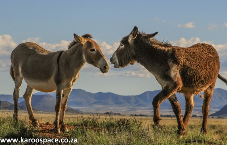 Little known facts about a Karoo donkey.