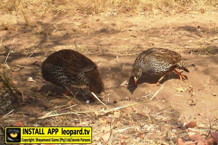 The harsh call of the Natal spurfowl is characteristic of the #bushveld at dusk and dawn. Read more! #shayamanzi