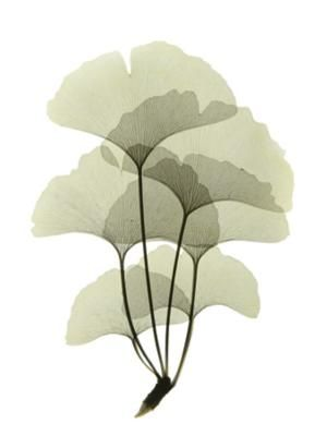 I have kind of this weird obsession with ginkgo trees...I just...love them.