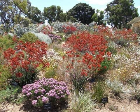 A hillside garden bed of Australian native flowers at Kings Park