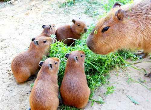 Lunch time for the Capybara family