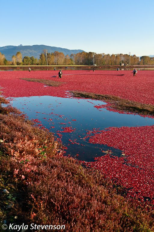 Cranberry Harvest, Banns Cranberry Farm, British Columbia, Canada